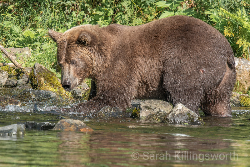 grizzly swipe at a salmon