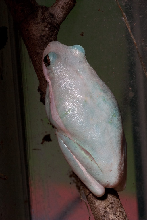 Green tree frog that developed a pigment disorder (shifting from blue to nearly white, then back to green over a few months)