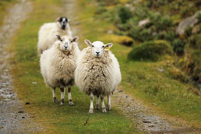 Three Sheep-1L8A4490
