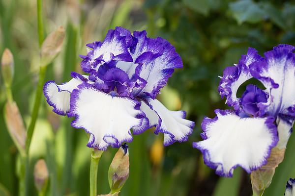 Bearded-Iris-2048px-2098
