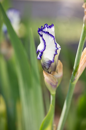 Bearded-Iris-2048px-2144