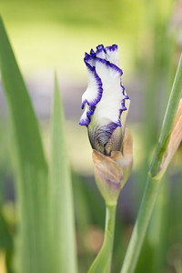 Bearded-Iris-2048px-2116