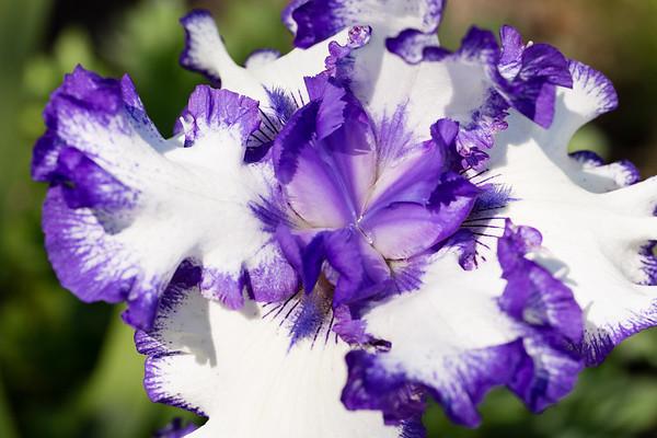 Bearded-Iris-2048px-2177