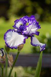 Bearded-Iris-2048px-2064