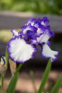 Bearded-Iris-2048px-2060