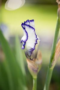 Bearded-Iris-2048px-2130-2