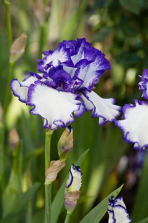 Bearded-Iris-2048px-2105