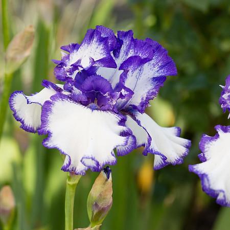 Bearded-Iris-2048px-2098-2