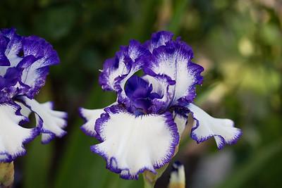 Bearded-Iris-2048px-2080