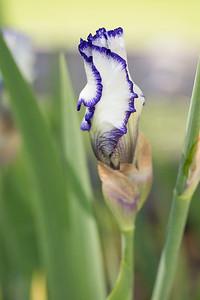 Bearded-Iris-2048px-2122