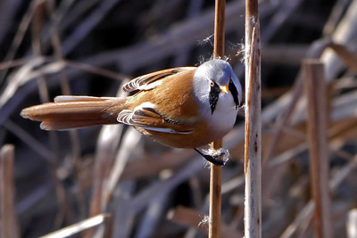 Bearded Tit (Panurus biarmicus), Rainham Marsh RSPB, Essex, 03/02/2012.