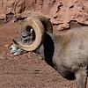 DSC_9696 w Bighorn Sheep