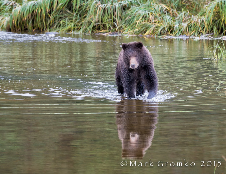 Brown Bear at Pack Creek on Admiralty Island, Alaska - Bears, Bears, Bears - Mark Gromko - September 2015