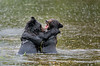 Play Fighting at Pack Creek, Admiralty Island, Alaska - Bears, Bears, Bears - Mark Gromko - September 2015