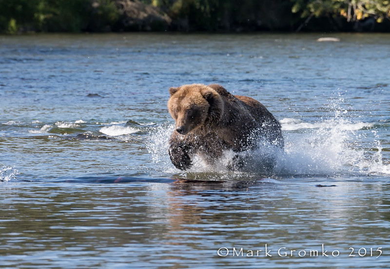 Fishing for Salmon at Brooks Lake, Alaska - Bears, Bears, Bears - Mark Gromko - September 2015