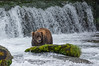 Brown Bear at Brooks Falls, Alaska - Bears, Bears, Bears - Mark Gromko - September 2015
