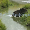 Captive Bear Crossing Stream