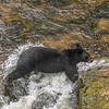 Leaping Black Bear, Anan Creek