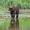 Brown Bear Reflection, Pack Creek
