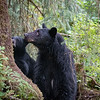 Black Bear Cub and Mom in Woods