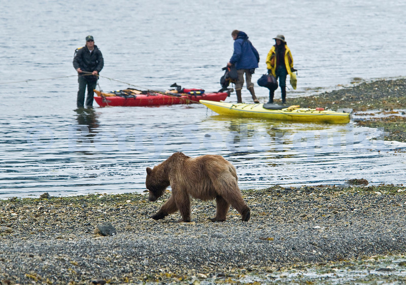 Brown Bear and Kayakers