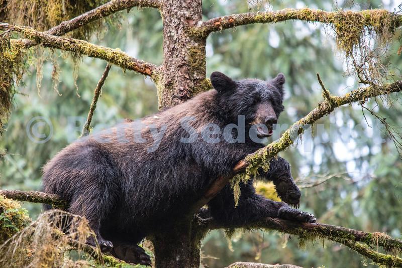 Lazy Black Bear in a Tree, Alaska