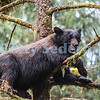 Lazy Black Bear in a Tree, Alaska