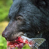 Black Bear Carrying a Bloody Fish