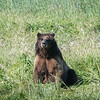 Dignified Brown Bear in Field