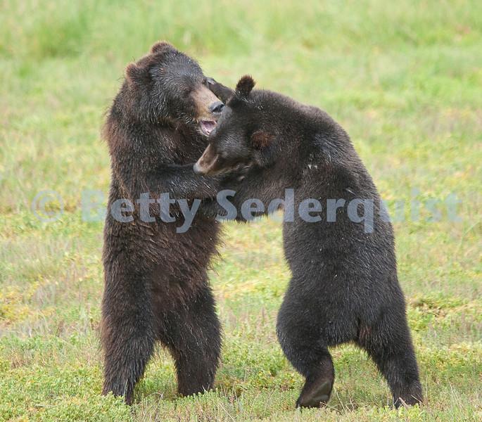 Wrestling Brown Bear Cubs, Pack Creek