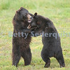 Wrestling Brown Bear Cubs, Pack Creek