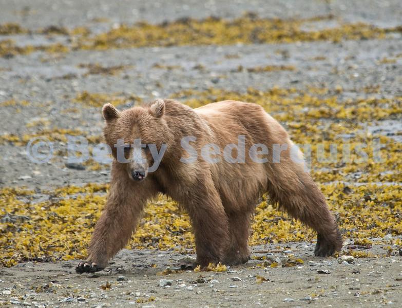 Brown Bear at Low Tide