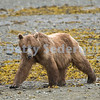 Brown Bear at Low Tide