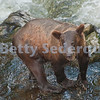 Brown Bear after a Swim