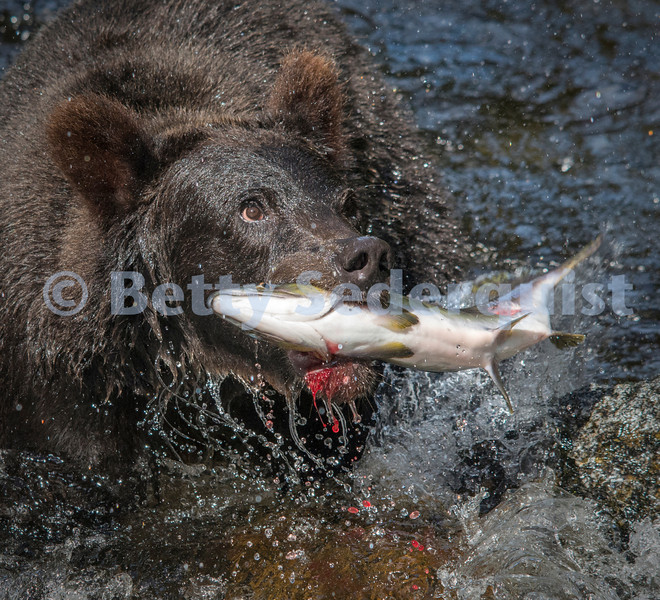 Black Bear and Bloody Salmon