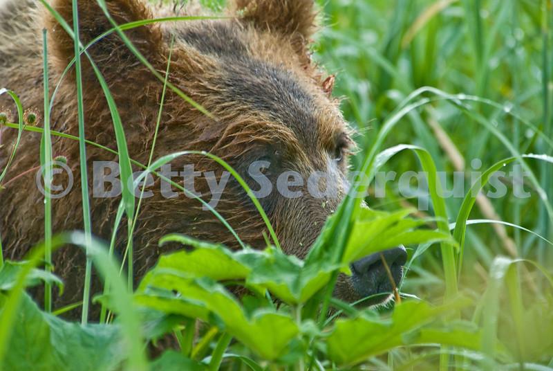 Closeup Brown Bear