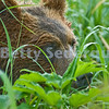 Closeup Brown Bear
