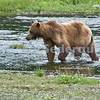 A Brown Bear Hunts for Salmon, Pack Creek
