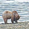 Brown Bear Digging for Clams, Pack Creek