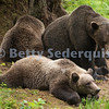 Napping Brown Bears