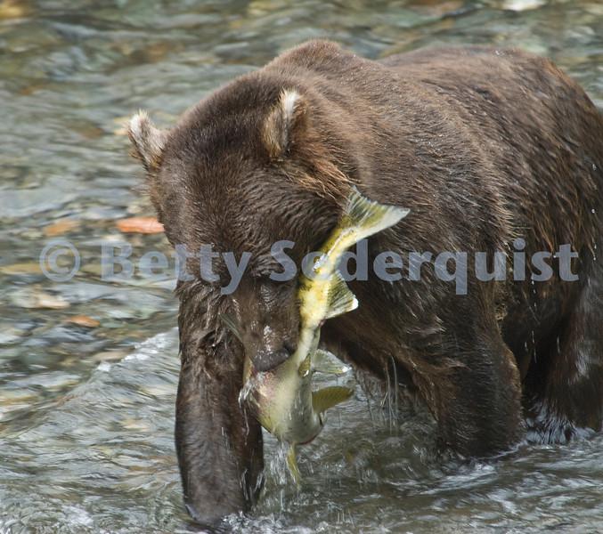 Brown Bear Catching Salmon, Pack Creek