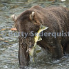 Brown Bear Catching Salmon, Pack Creek