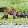 Brown Bear Cubs Follow Mama
