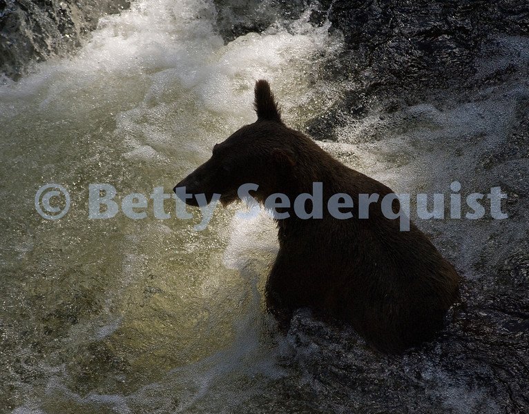 Brown Bear Fishing for Salmon, Anan Creek