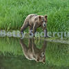 Brown Bear Munches Grass