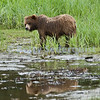 Brown Bear at Tideline, Pack Creek