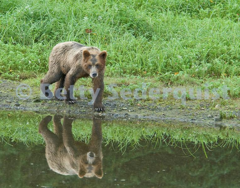 Brown Bear Reflection