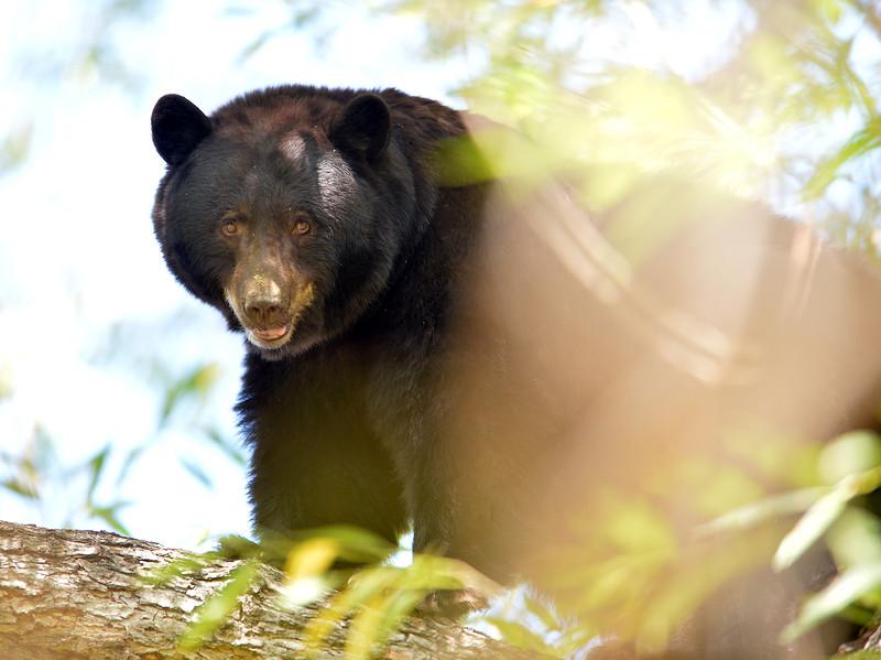 bear36