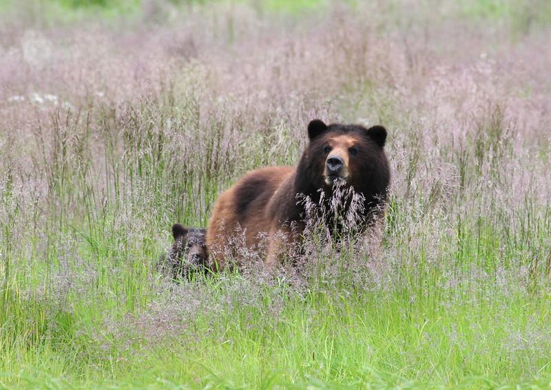 Brown bear and cub.
