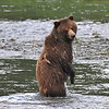 Brown (Grizzly) Bear looking for salmon in Pack Creek
